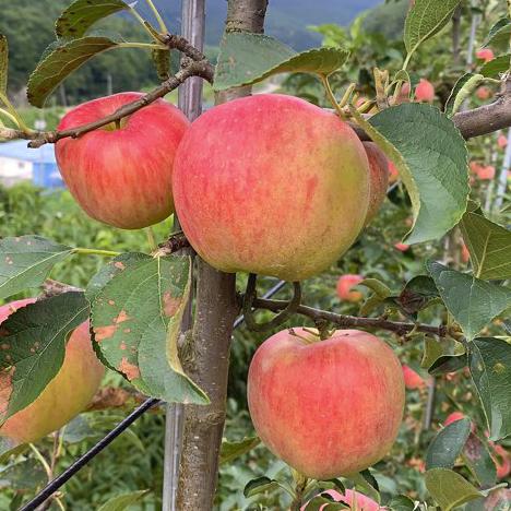 꽃들메 청송 사과(홍로)